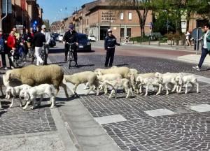 Pecore e agnelli attraversano Corso Porta Mare - foto di Patrizio Benini
